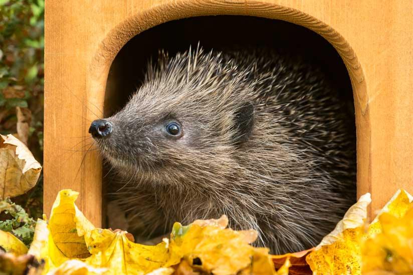 Hedgehog 2, Best Garden, Home And DIY Tips