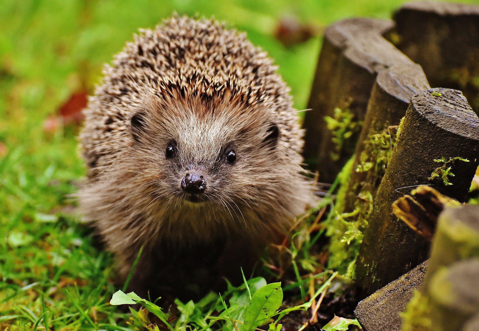 , Hedgehogs overwinter in the garden: how to make space for hedgehogs in winter!, Best Garden, Home And DIY Tips