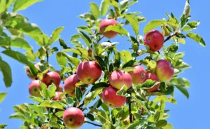 , Cut the apple tree correctly, Best Garden, Home And DIY Tips