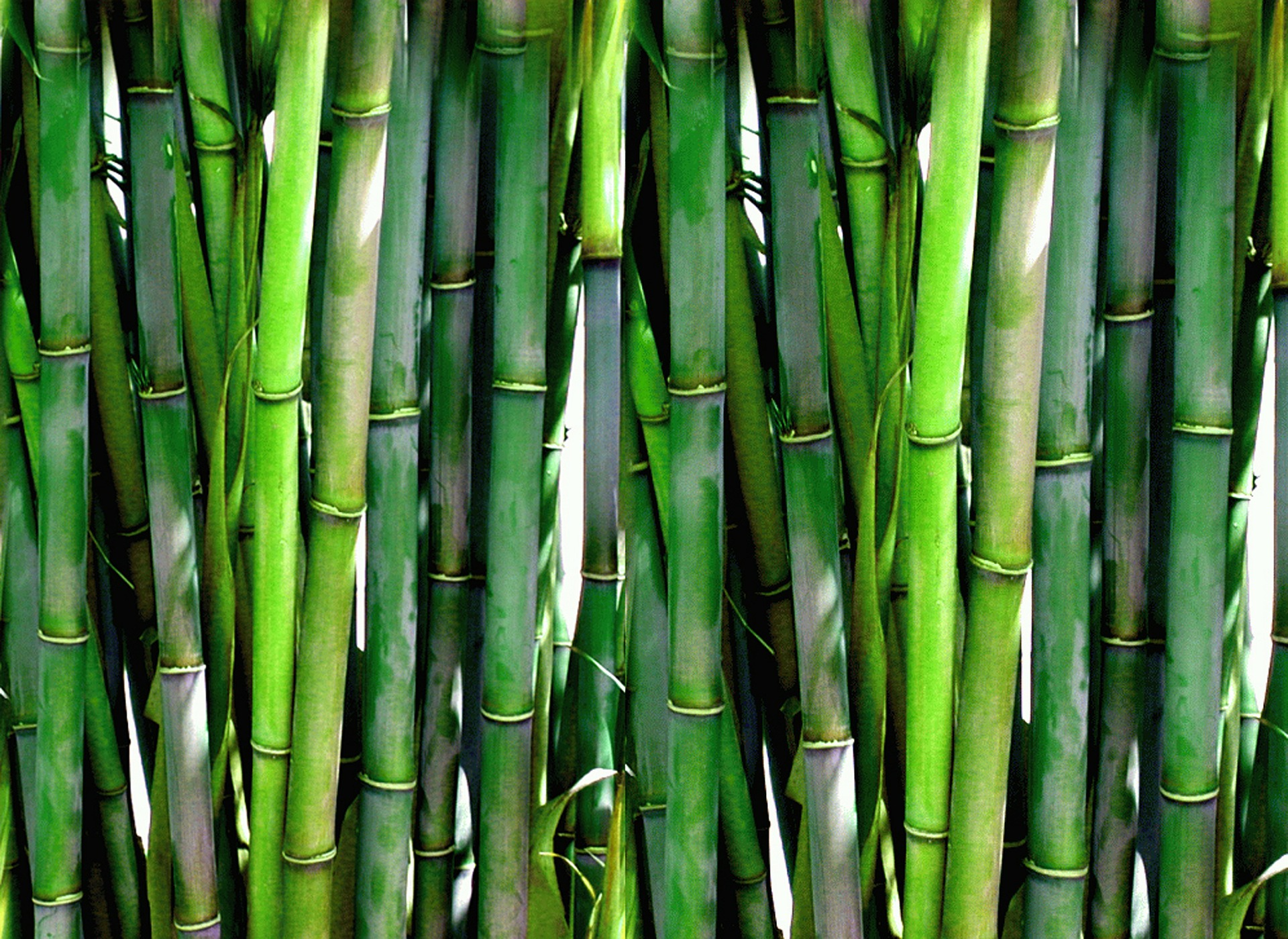 Bamboo hedge: 10 advantages and disadvantages