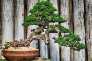 , The care and maintenance of bonsai trees, Best Garden, Home And DIY Tips