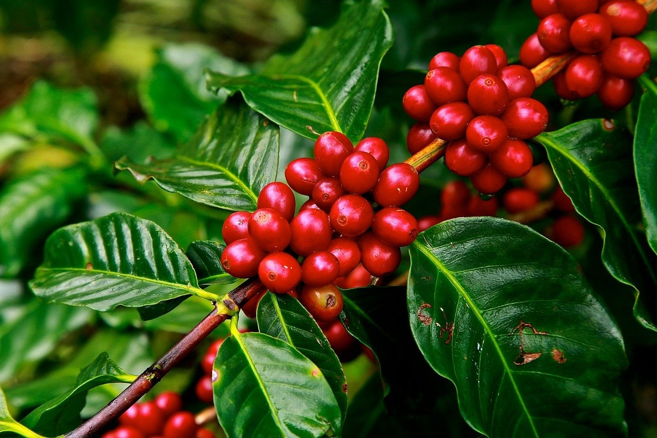 , Growing coffee plants in the apartment – that's how it works, Best Garden, Home And DIY Tips