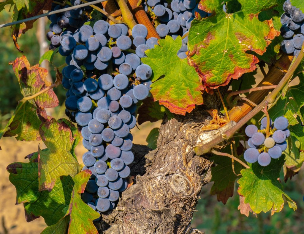 Grapes 3659591 1920 1024x791, Best Garden, Home And DIY Tips