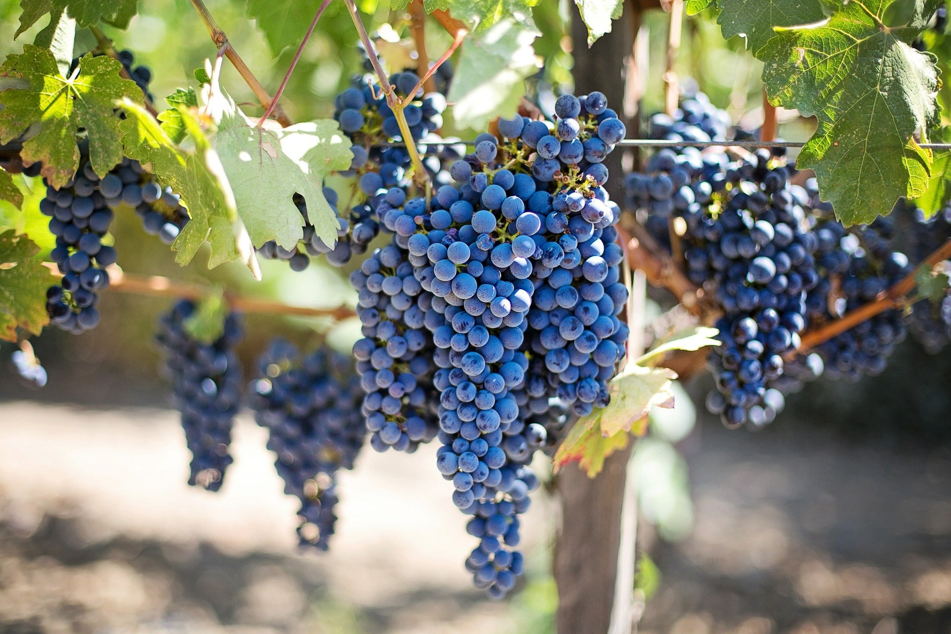Plant grapevines in your own garden