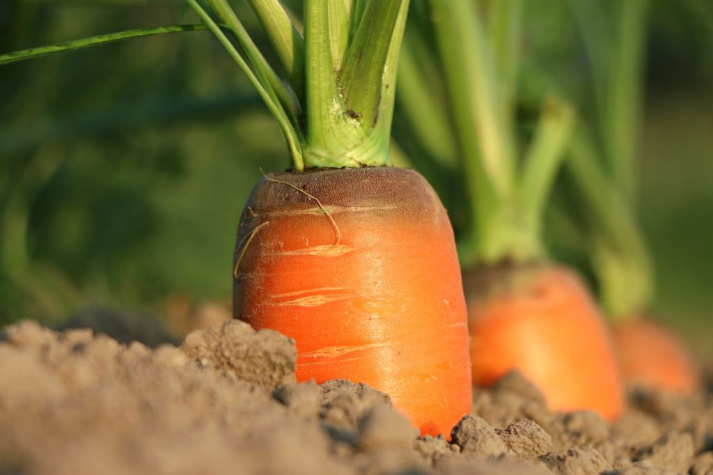 Carrots 1024x682, Best Garden, Home And DIY Tips