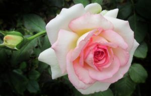 , Cutting roses: this is how it works, Best Garden, Home And DIY Tips