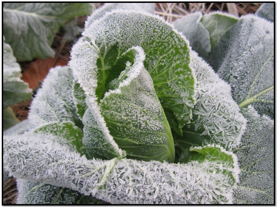 , WHY CABBAGE IS HARVESTED IN FROST, Best Garden, Home And DIY Tips
