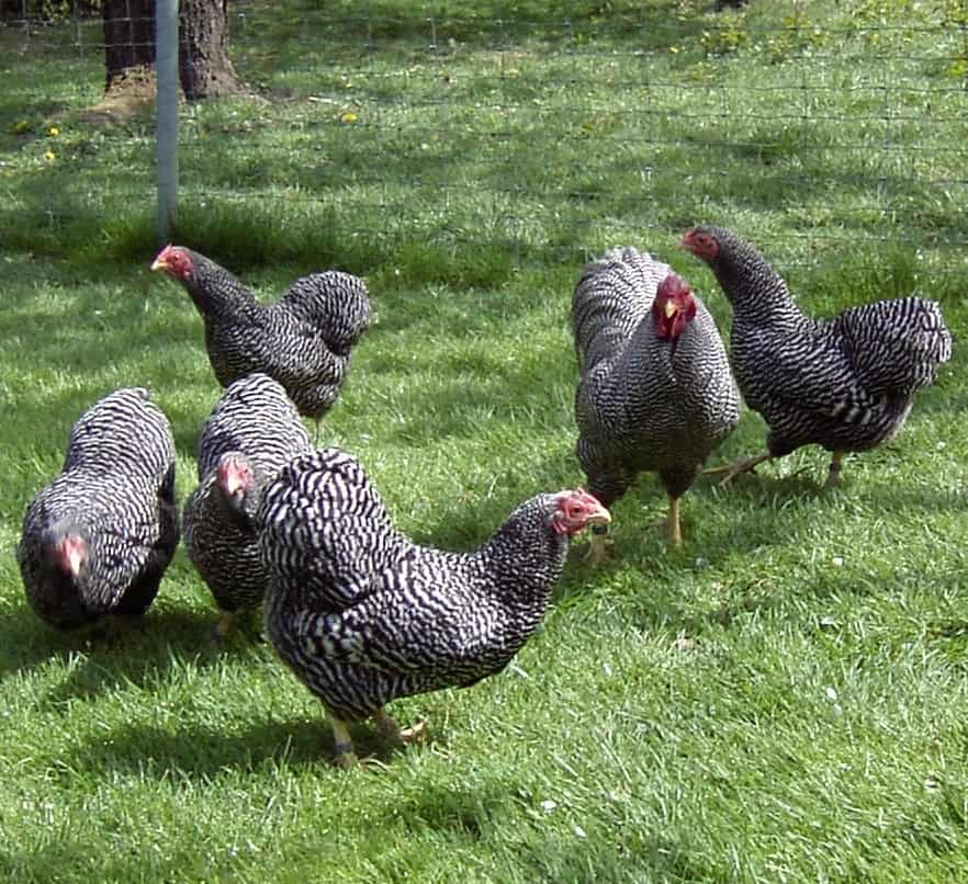 Chicken 2, Best Garden, Home And DIY Tips