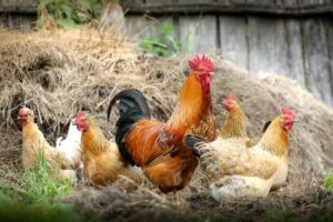 , Keep chickens in the backyard, Best Garden, Home And DIY Tips