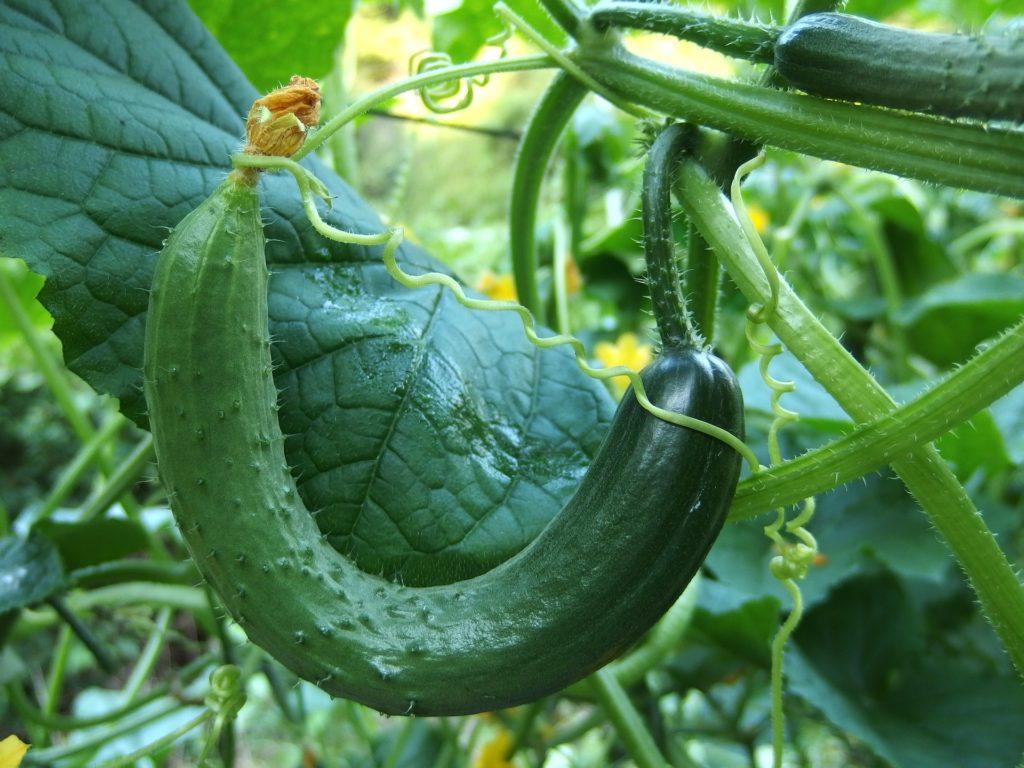 Cucumber 1681504 1920 1024x768, Best Garden, Home And DIY Tips