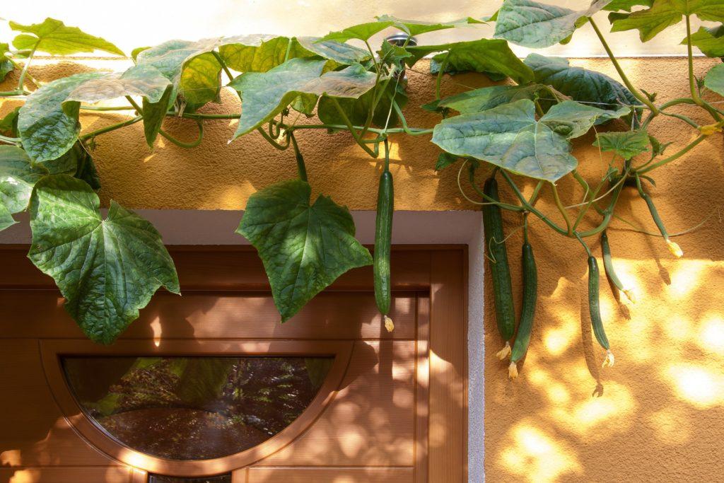 Cucumber 177034 1920 1024x683, Best Garden, Home And DIY Tips