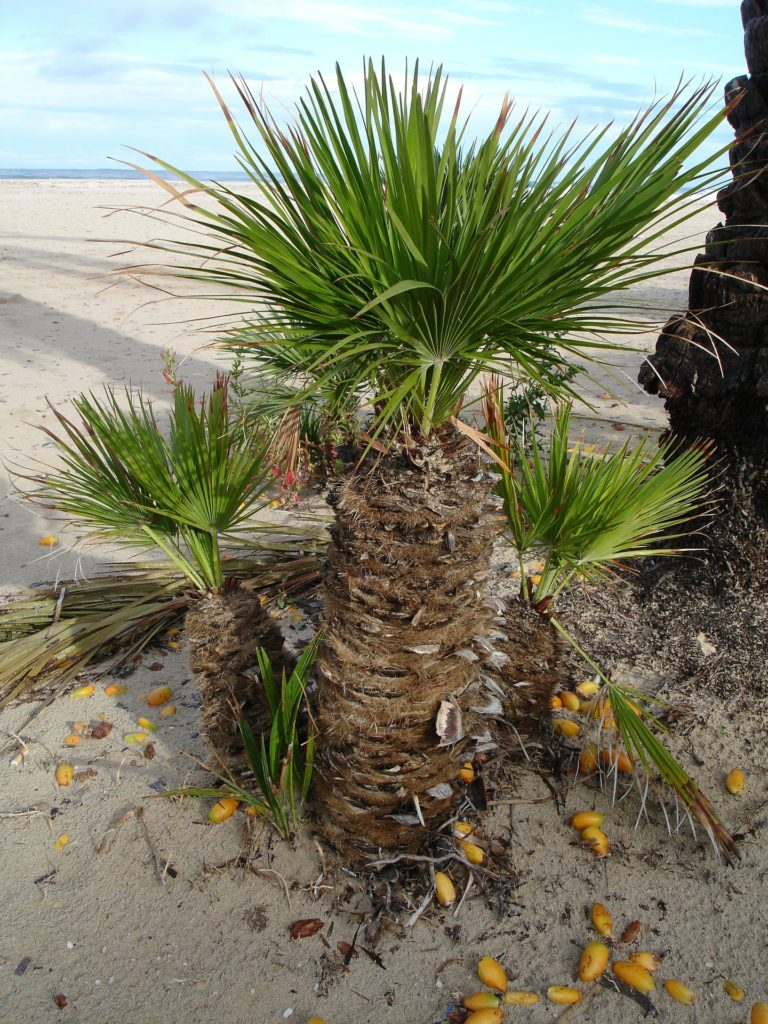 Date Palm 223252 1920 768x1024, Best Garden, Home And DIY Tips