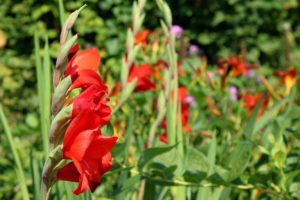, Gladioli: Our tip for a colorful garden in summer, Best Garden, Home And DIY Tips