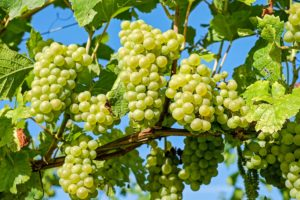 , Grapevines, grapes, Best Garden, Home And DIY Tips