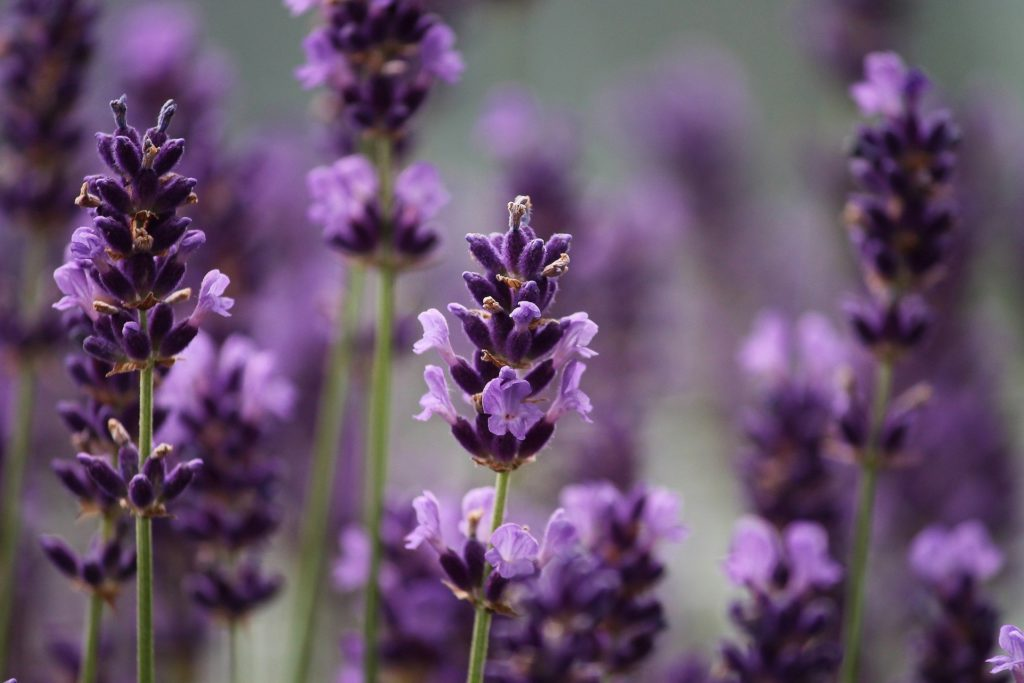 Lavender 3479492 1920 1 1024x683, Best Garden, Home And DIY Tips