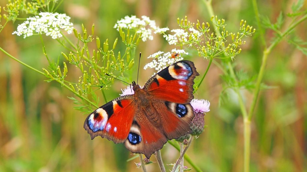 Peacock Butterfly 1526939 1920 1024x576, Best Garden, Home And DIY Tips