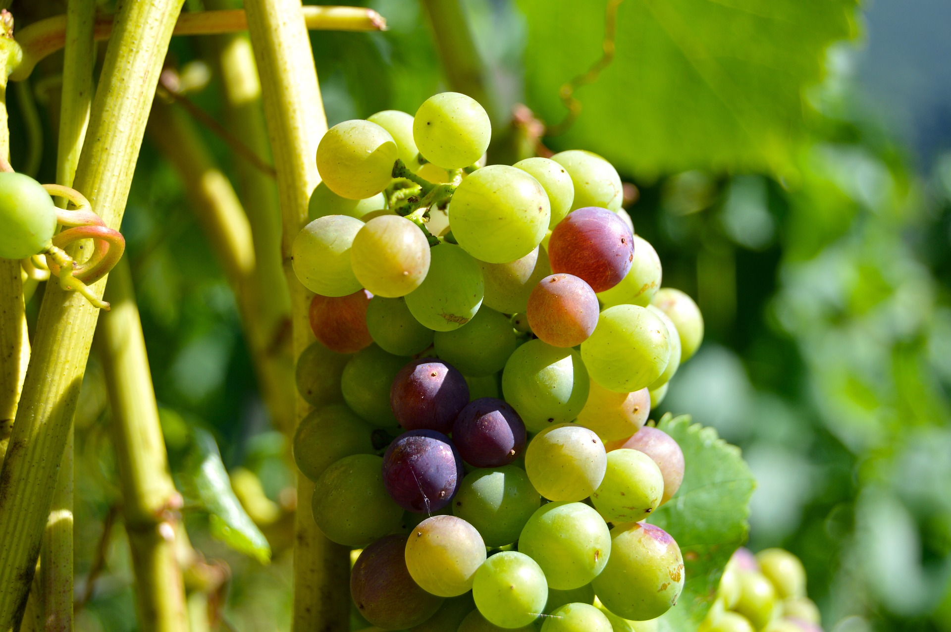 , Pruning grapevines in summer: that's how it works, Best Garden, Home And DIY Tips
