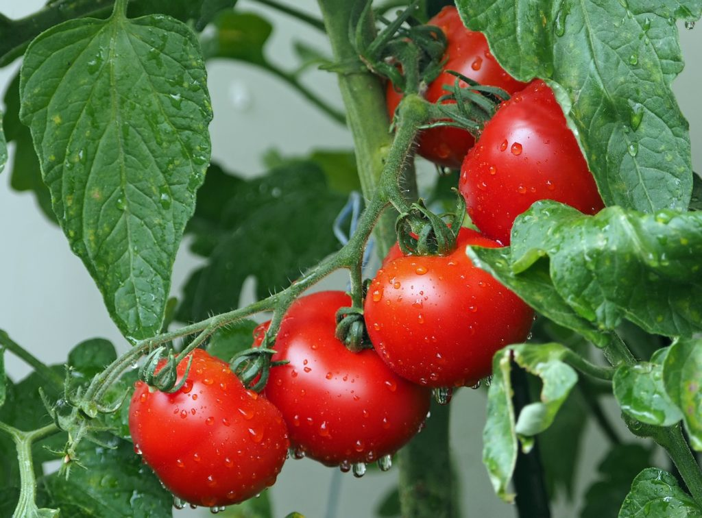 Tomatoes 1561565 1920 1024x756, Best Garden, Home And DIY Tips