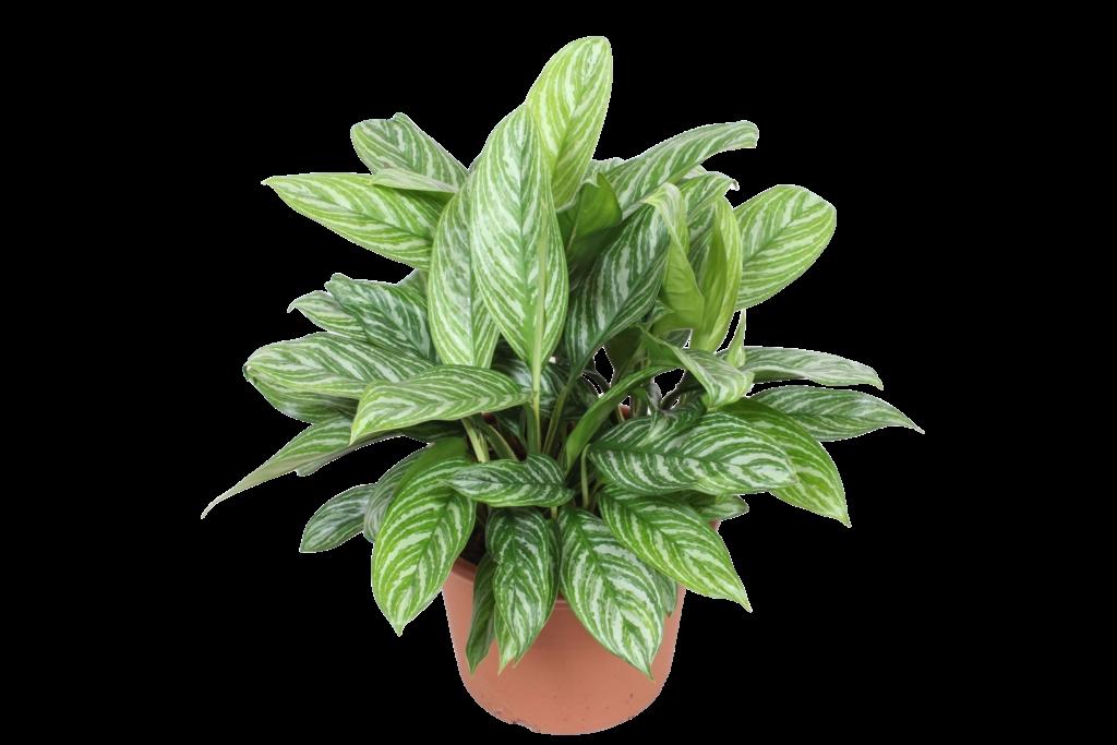 Aglaonema 1024x683, Best Garden, Home And DIY Tips