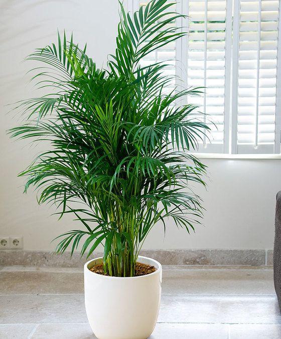 Chamaedorea, Best Garden, Home And DIY Tips