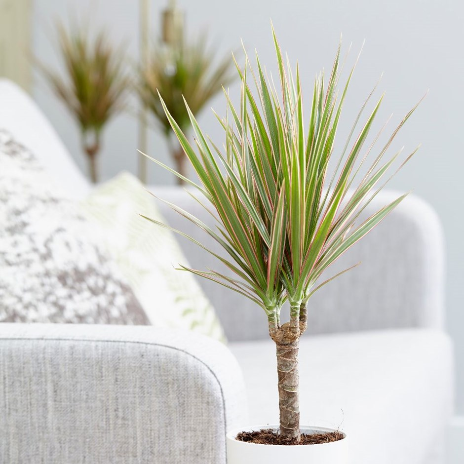 Dragon Tree 1, Best Garden, Home And DIY Tips