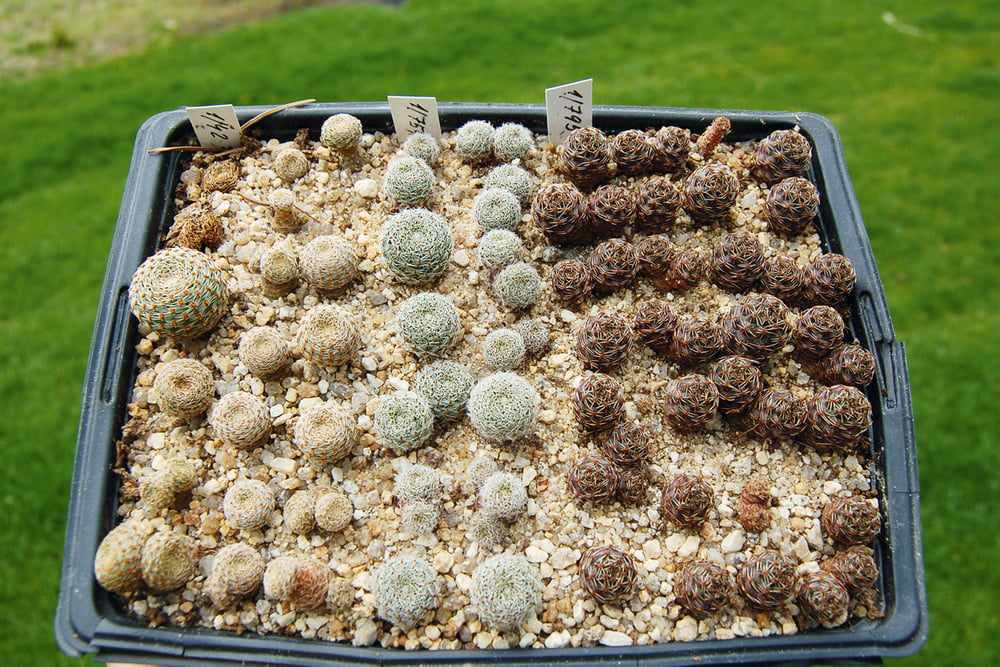 How to grow cacti yourself