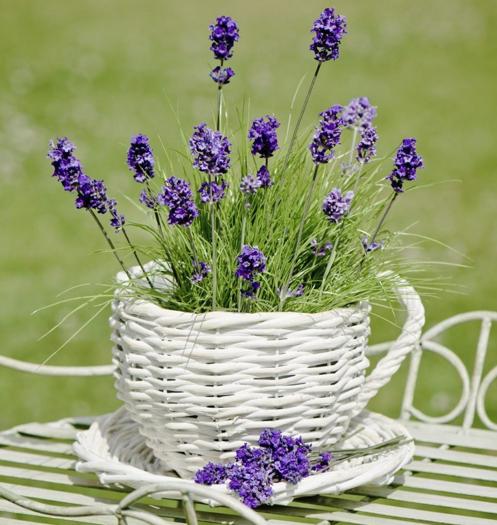 Lavender 968x1024, Best Garden, Home And DIY Tips