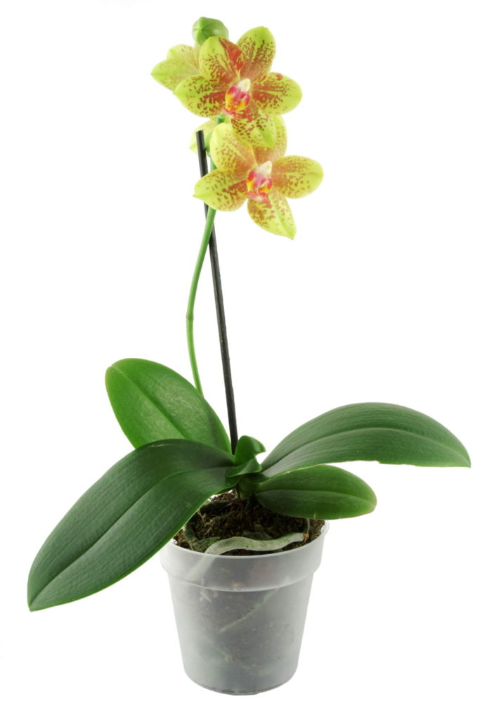 Orchid 683x1024, Best Garden, Home And DIY Tips