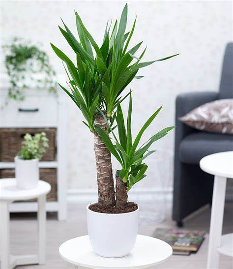 Yucca Palm, Best Garden, Home And DIY Tips