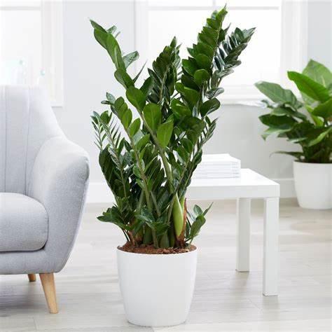 Zamioculcas Zamiifolia, Best Garden, Home And DIY Tips