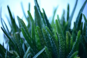 , Caring For Aloe Vera: The 3 Biggest Mistakes, Best Garden, Home And DIY Tips