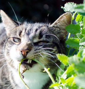 , CATNIP – Why Cats Are So Crazy About It, Best Garden, Home And DIY Tips