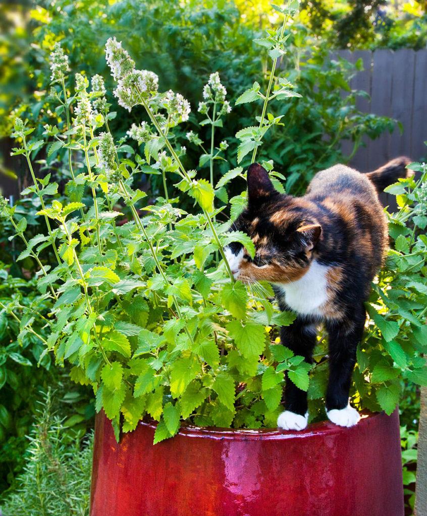 Catnip 846x1024, Best Garden, Home And DIY Tips