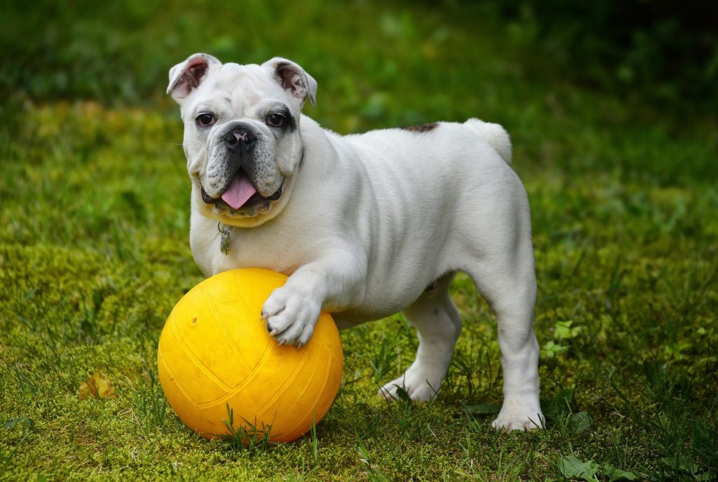 English Bulldog 562723 1920 1024x687, Best Garden, Home And DIY Tips