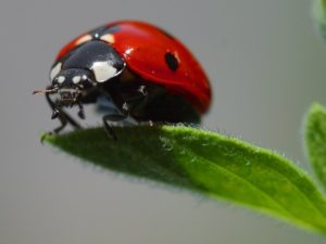 , Ladybugs In The Home And Garden – You Can Do That, Best Garden, Home And DIY Tips