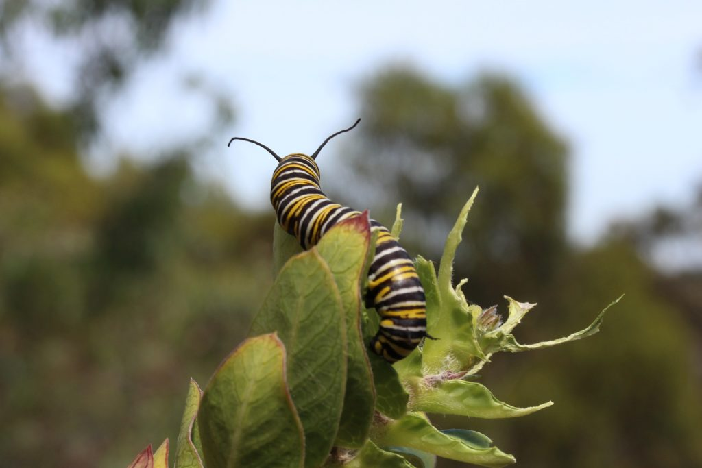 Monarch Caterpillar 1024x683, Best Garden, Home And DIY Tips