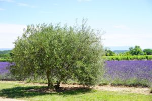 , Olive Tree In Your Own Backyard, Best Garden, Home And DIY Tips