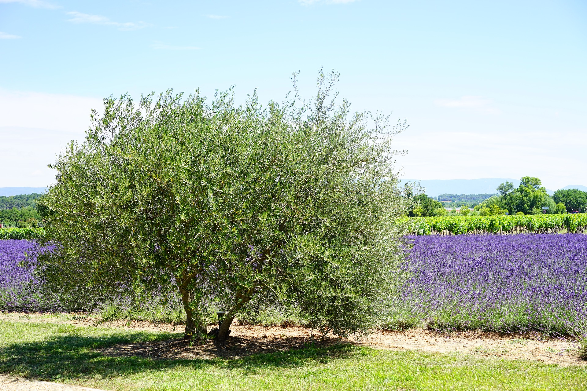 Olive Tree In Your Own Backyard