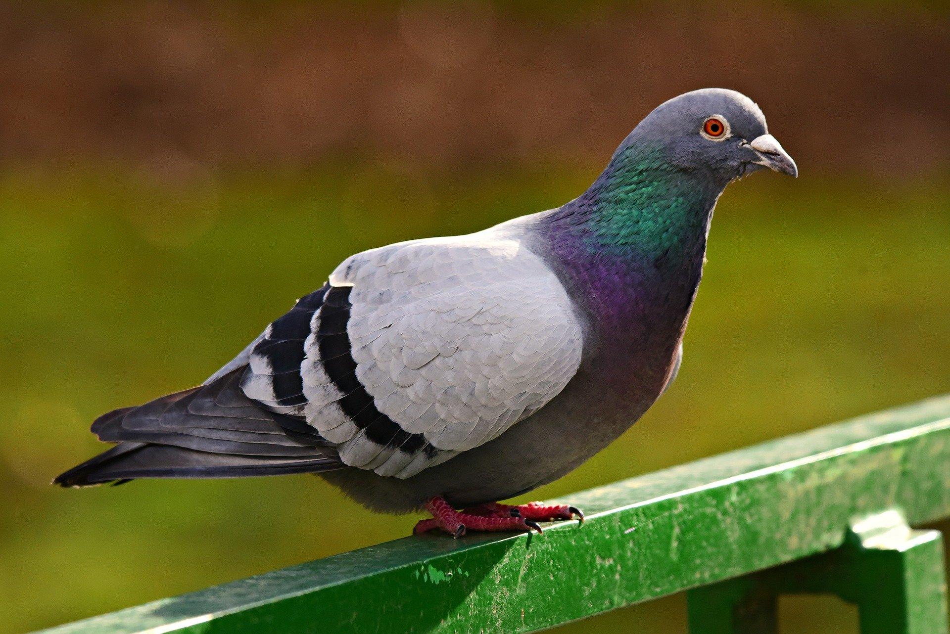 Six Ways To Drive Away Pigeons