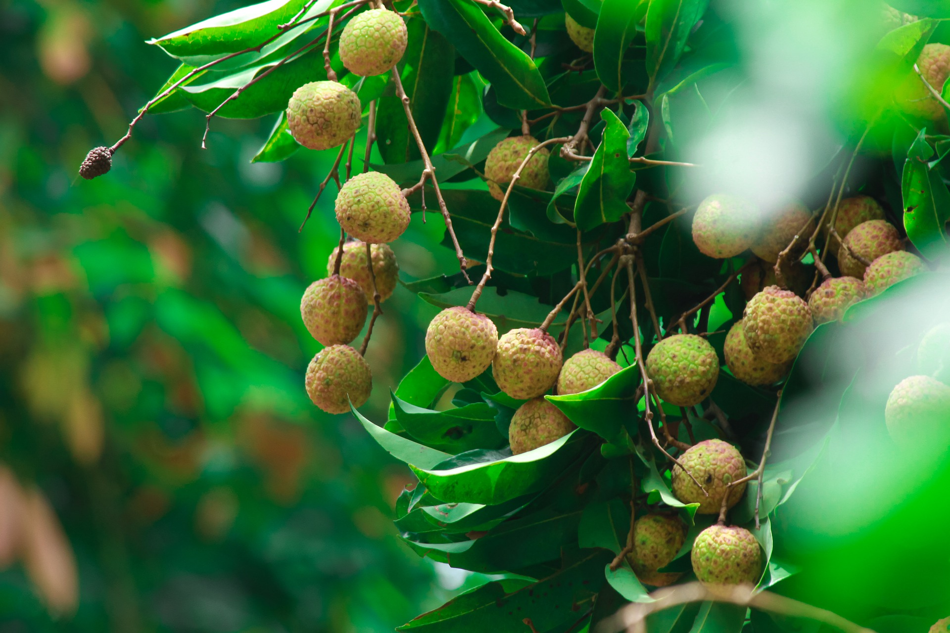 How To Plant And Care For The Lychee Tree